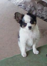 Chihuahua Pudel Mix
