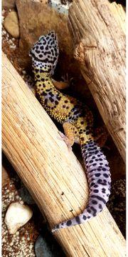 wildfarbene Leopardgeckos Eublepharis macularius