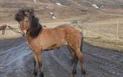 Islandstute Isländer Stute