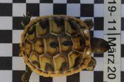 Griechische Landschildkrötenbabys THB