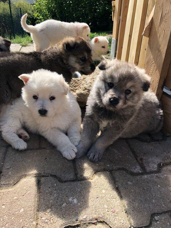 Tschechischer Wolfshund Kanadischer Schäferhund