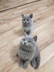 Baby Katzen bkh kitten