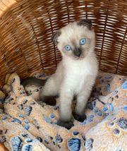 Siam Fold Kitten 10 Wochen