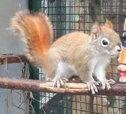 Ich habe ein Hudson eichhörnhen