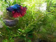Kampffisch blau-rot Betta Splendens