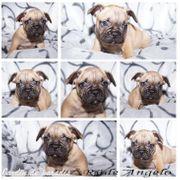 Französische Bulldoggen Welpen Rüde und