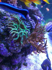 Ableger-Korallen