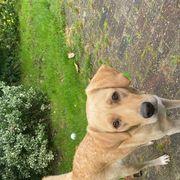 Labrador Hündin abzugeben