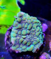 Meerwasser Montipora danae 4x4cm