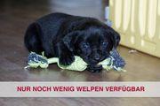 Labrador Welpen in schwarz auf