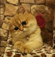 Wurfankündigung Reinrassige BKH Golden Kitten
