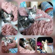 Baby Katze Kitten Blue geimpft