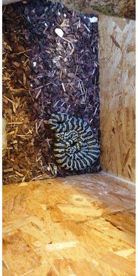 Reptilien, Terraristik - Teppichpython