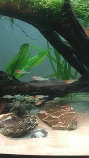 Zu verschenken Kerngesunde Süßwasserfische