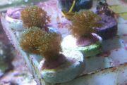 Kleine Korallen Ableger Nachzucht - SPS