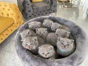 Reinrassige BKH Kitten Stammbaum Zuchtoption