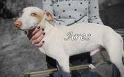 Süßer und verspielter Podenco-Welpe Ares