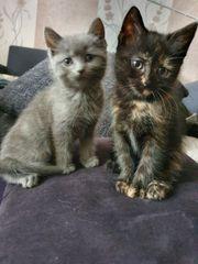Perser-Bkhmix-Kitten