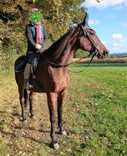 Traber Stute Freizeit Pferd