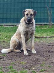 Kangal Rüde Wach Hund