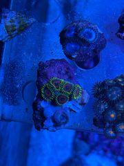 Korallen Krustenanemone Zoanthus