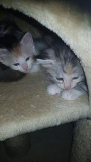 My coon kitten