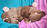 8 wunderschöne Chihuahua Welpen