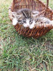 Bengal Mix Kitten Katze Kater