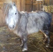 Amha miniatur pferd 80cm