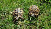 Maurische Landschildkröten NZ 2020