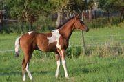 Ausnahme APHA Paint Horse Hengstfohlen