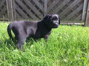 Labrador Retriever Welpen Reinrassig