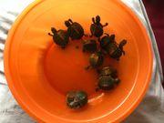 Süße Wasserschildkröten Babys