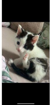 Babykatzen abzugeben