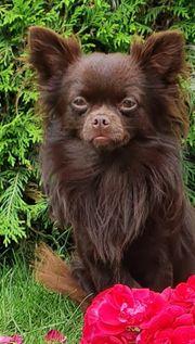 Chihuahua In Berlin Hunde Kaufen Verkaufen Auf Quoka De