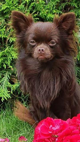 Chihuahua In Falkensee Hunde Kaufen Verkaufen Auf Quoka De