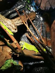 Iguana Iguana Green