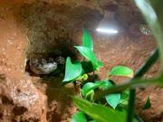 Kornnattern Weiblich Nattern Schlangen