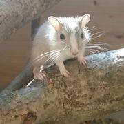 Rennmäuse Wüstenrennmäuse Gerbils Maus