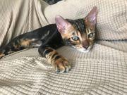 Bengal Kater Kitten