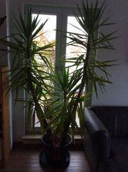 Große Yucca-Palme