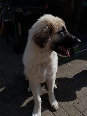 Kangal-Welpe Familienhund