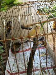 Pärchen Stieglitz Kanarienvögel