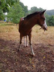 Wunderschönes Paint Horse - Hengstfohlen
