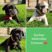 3 Französische Bulldoggen Jackbull Welpen