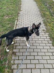 Husky-Mix-Rüde 7 5 Monate