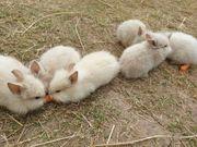Löwenköpfchen mit Abstammungsnachweis - Zwergkaninchen