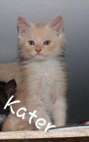 Reinrassige Maine Coon Kitten Abgabebereit