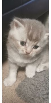 Süße BKH Kitten Alle reserviert