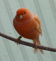Kanarien Jungvögel aus 2019 rot